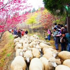 全台獨一無二清境奔羊節 2月14日盛大登場