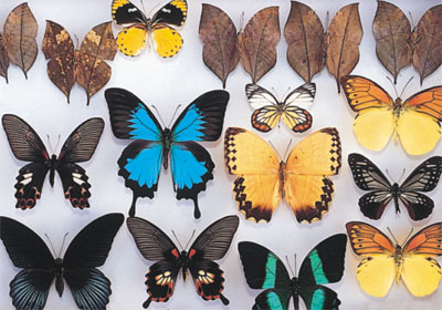 埔里昆蟲館-錦吉昆蟲館-埔里蝴蝶-蝴蝶標本-昆蟲標本-蝴蝶貼畫-蝴蝶
