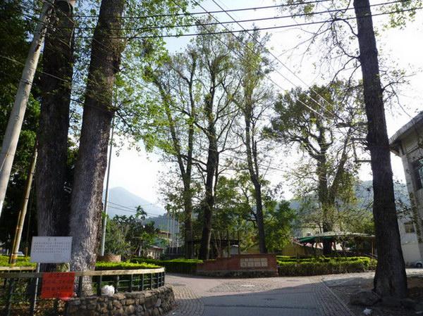 埔里旅遊景點-埔里散步景點-蜈蚣里-楓香社區-楓香公園-楓香老樹