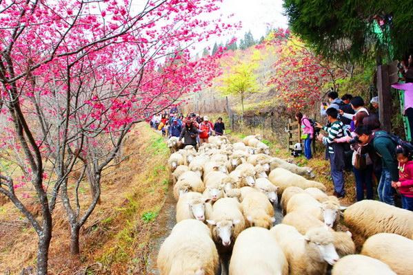 清境農場54週年場慶暨全台獨一無二的奔羊節活動將於2月14日西洋情人節登場。(圖片提供:清境農場)