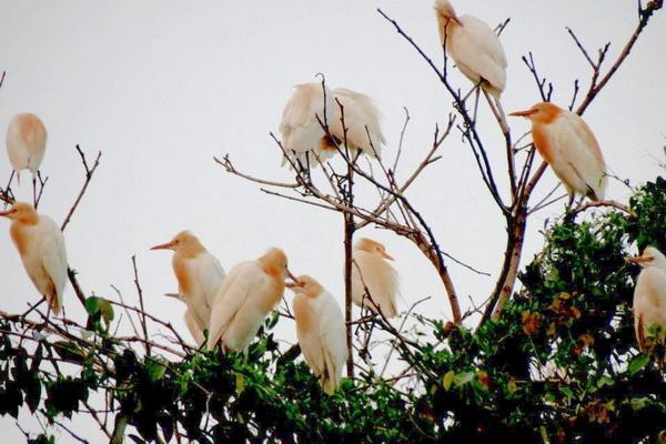 大埔里生活網─黃炳松所耕作的田地裡,常有成群白鷺鷥駐足。(圖/陳美維提供)