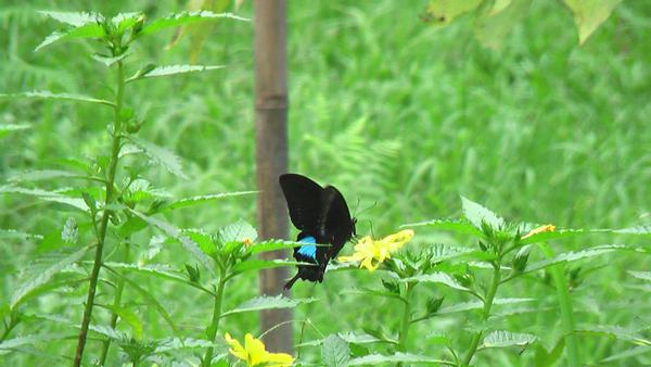 埔里人物-俞國珠的生態村裡只見蝴蝶翩翩起舞。(俞國珠提供)