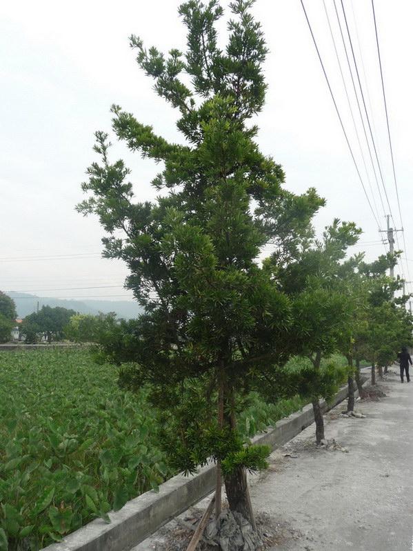 埔里-植樹節送樹苗